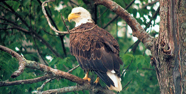 Bald Eagle Sitting on Tree Branch
